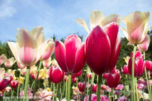 Keukenhof – najpiękniejsze ogrody świata