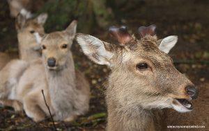 Nara- Japonia o jakiej marzą sarny- Blog o Japonii